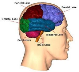 Alcohol and the brain student resources resources alcohol alcohol and the brain brain diagram ccuart Images